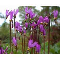 DODECATHEON(도데카테온) meadia 1g(약1600립)