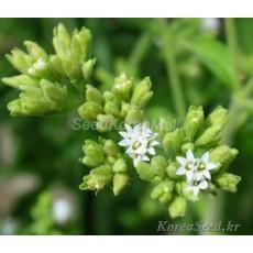 스테비아 (Stevia) 1봉(약100립)